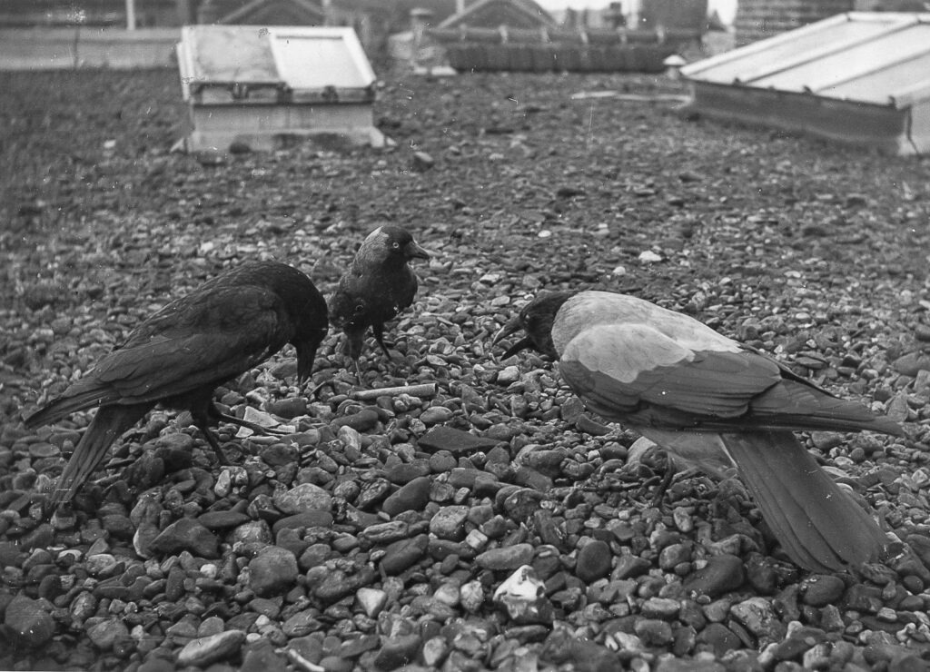 Drie vogels op een dak