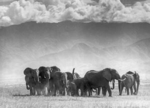 Een kudde olifanten in het Krugerpark